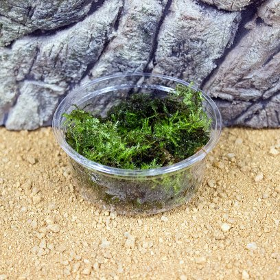 Java Moss - Vesicularia dubyana - 80cc cup