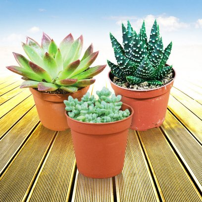 Live Plant Arid Collection - 20 Assorted Plants