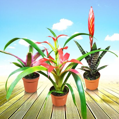 Live Plant Bromeliad Collection - 20 Assorted Plants