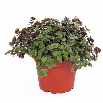 Live Food Plant Callisia Repens - 10cm Pot