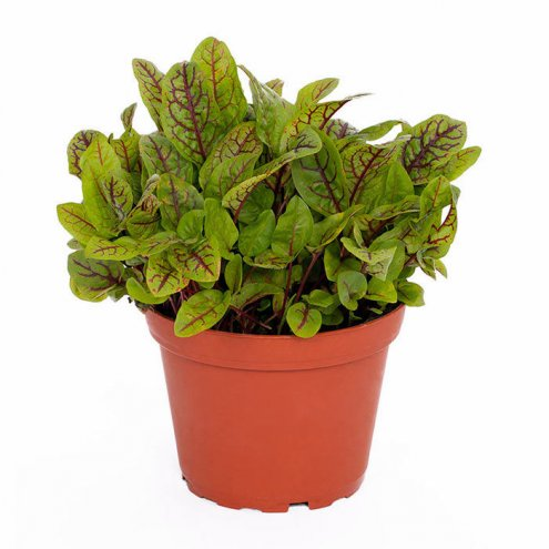 Live Food Plant Red Sorrel 'Red Pixie' - 10cm Pot