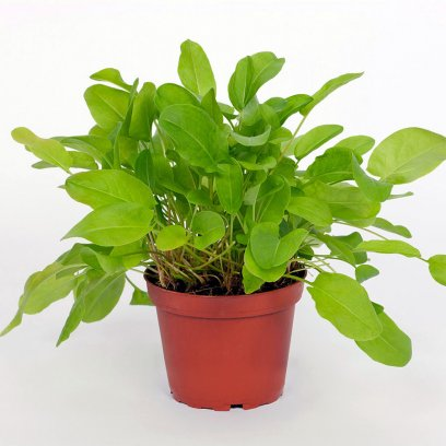 Live Food Plant Common Sorrel - 10cm Pot