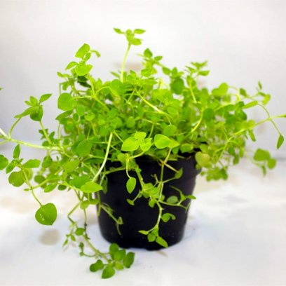 Live Food Plant Chickweed - 10cm Pot
