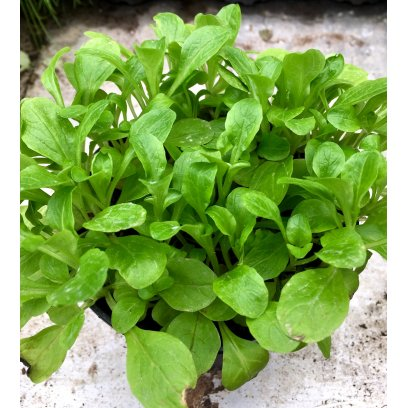 Live Food Plant Lambs Lettuce - 10cm Pot