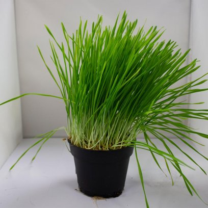 Live Food Plant Wheat Germ - 10cm Pot