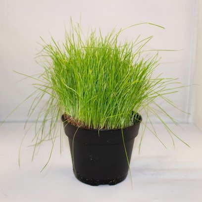 Live Food Plant Fine Forage Grass - 10cm Pot