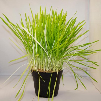 Live Food Plant Barley Grass - 10cm Pot