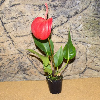 Laceleaf - Anthurium sp. - 5.5cm Pot