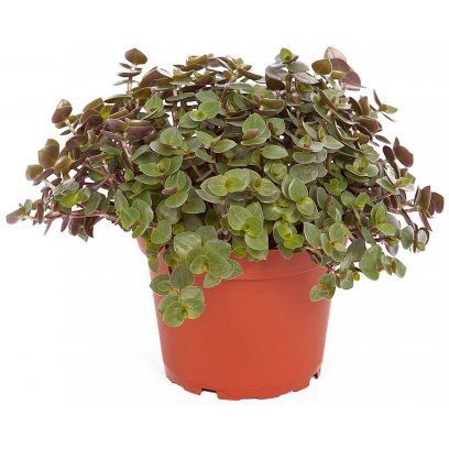 Creeping Inchplant - Callisia repens - 10cm Pot