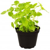 ProRep Live Food Plant Lemon Balm