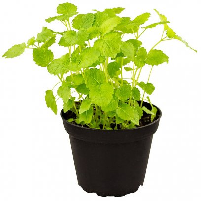 Lemon Balm - Melissa officinalis - 10cm Pot