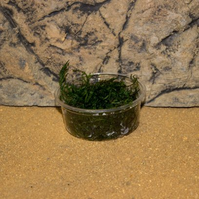ProRep Live Plant Flame Moss 80cc cup