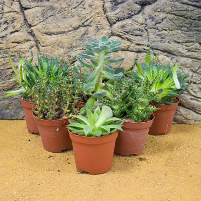 Live Plant Mini Arid Collection - 6 Assorted Plants