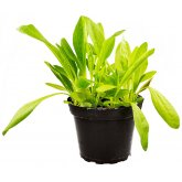 ProRep Live Food Plant Plantain (Assorted)