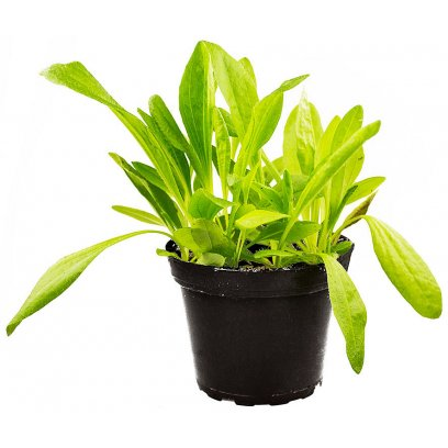 Plantain - Plantago sp. - 10cm Pot