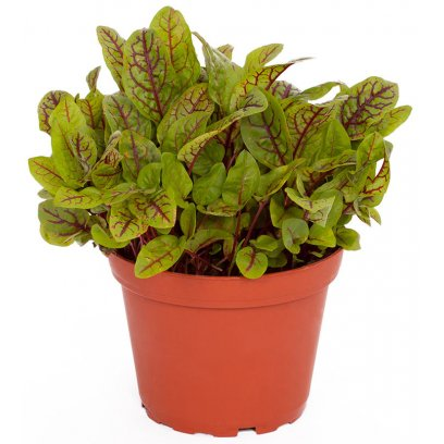 Red Sorrel - Rumex acetosella 'Red Pixie' - 10cm Pot