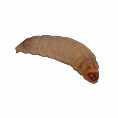 Waxworms on Egg Pack - 50 Tub