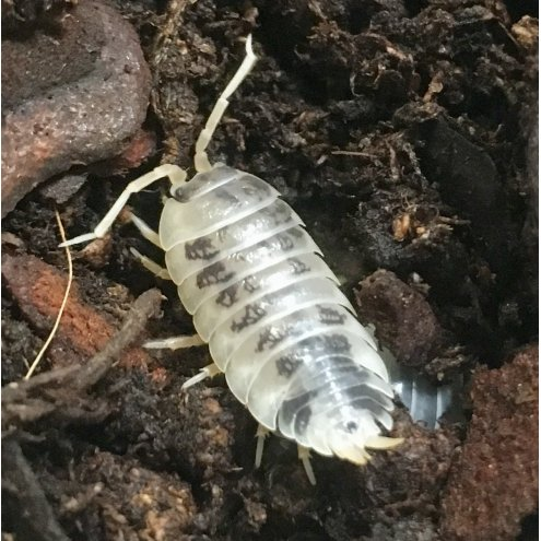 Dairy Cow Isopods - 10 Pack