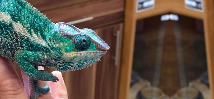 Chameleon For Sale category