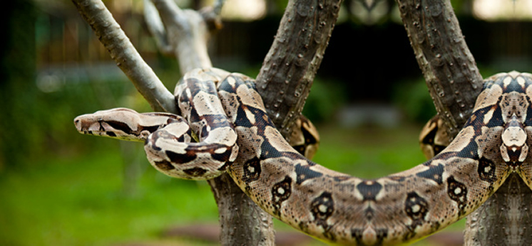 Common Boa Decor category