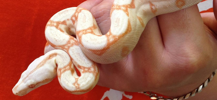 Common Boa For Sale category