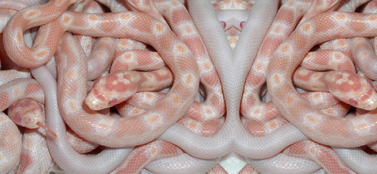 Corn Snake For Sale category