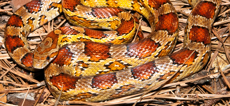 Corn Snake Substrates category