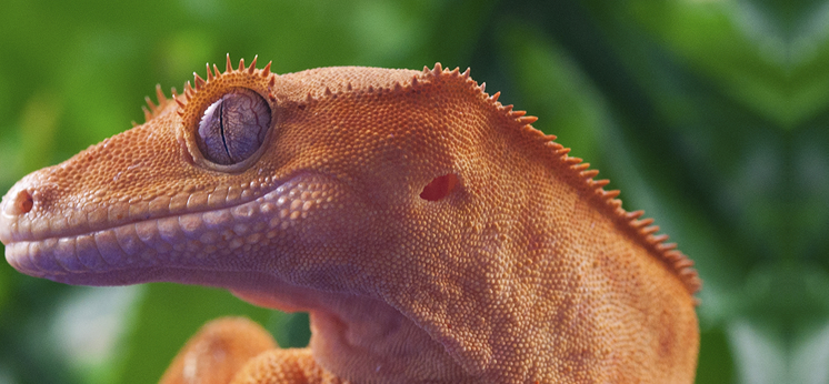 Crested Gecko Books category