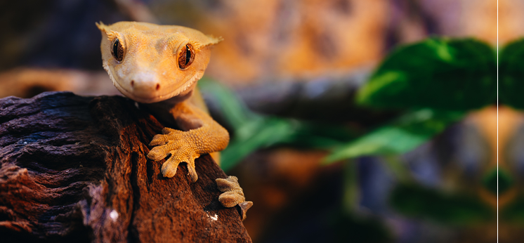 Crested Gecko Care Sheets category