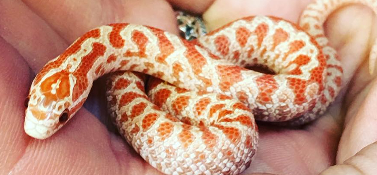 Kingsnake For Sale category