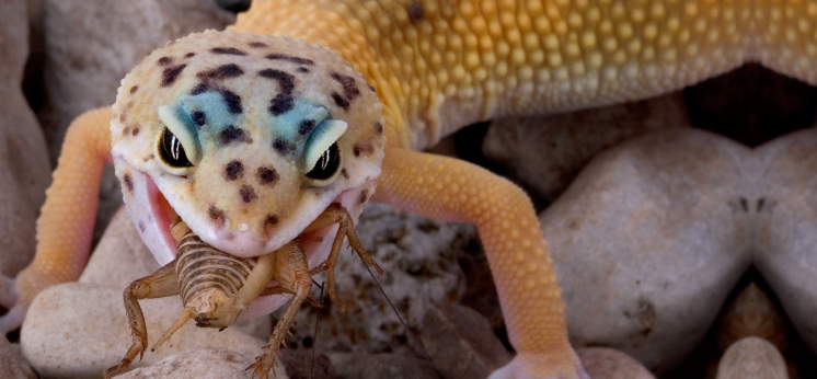 Leopard Gecko Foods category