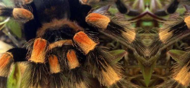 Tarantula For Sale category