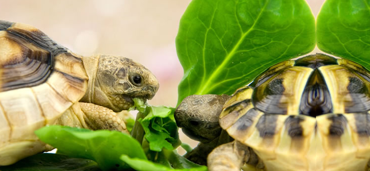 Tortoise Food category