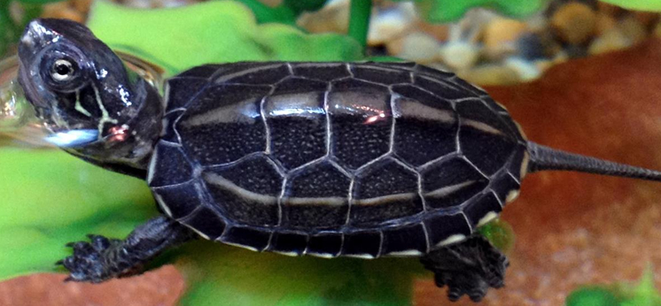Turtle For Sale category