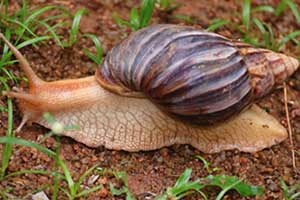 African land snail on a soil bedding