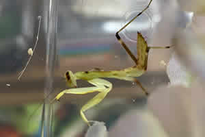 African mantis sat on decoration