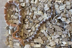 Amber corn snake on a woodchip bedding