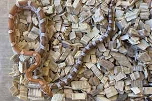 Amber kastanie corn snake on a woodchip bedding