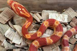 anery corn snake in its enclosure