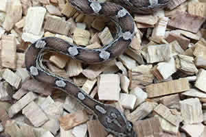 Caramel motely corn snake on a woodchip bedding