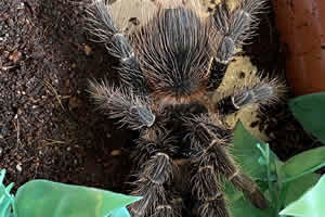 Bahia Scarlet Birdeater tarantula on a soil bedding