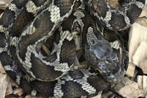 black rat snake in its enclosure