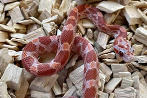Bloodred Lava Corn Snake on a wood chip bedding
