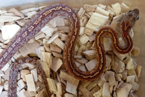 Bloodred corn snake in its enclosure