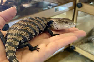 blue tongue skink being handled