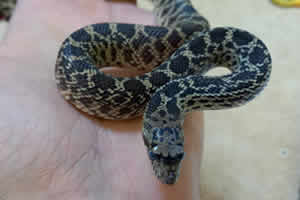 bull snake on a wooden surface