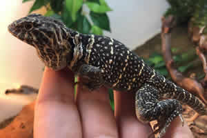 collared lizard being handled
