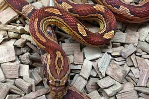 Common corn snake on bedding