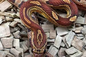 Common corn snake on a granite surface