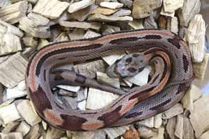 Caramel motley stripe corn snake in on bedding